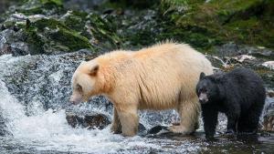 Colombie-Britannique : au royaume des ours